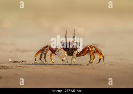 Crab fantasma en la arena en la orilla del mar