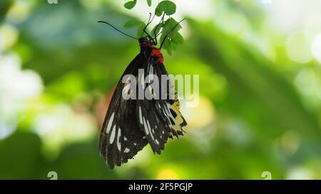 La mariposa malaquita cuelga de la hoja sobre el fondo verde cremoso del bokeh