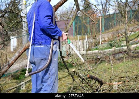 La forma tradicional de podar árboles frutales en la primavera en el jardín