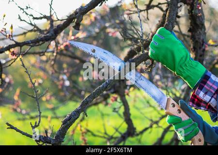 Jardinero con sierra de mano podadora rama de árbol de fruta, jardinería en el huerto en la primavera. Cortar ramita de árbol. Agricultor trabajando en el jardín