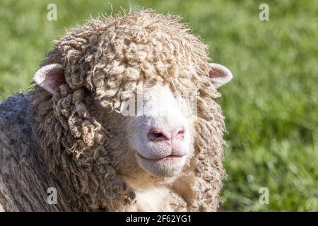 Un pórtrat de cerca de una oveja Cotswold (oveja) en el pueblo Cotswold de Middle Duntisbourne, Gloucestershire Reino Unido