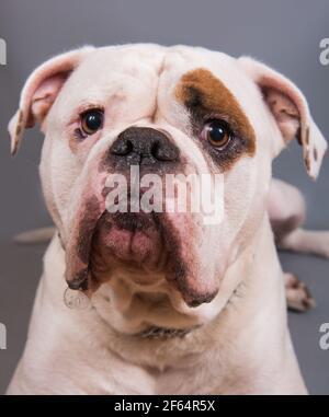 Blanco color abrigo adulto American Bulldog vista frontal retrato