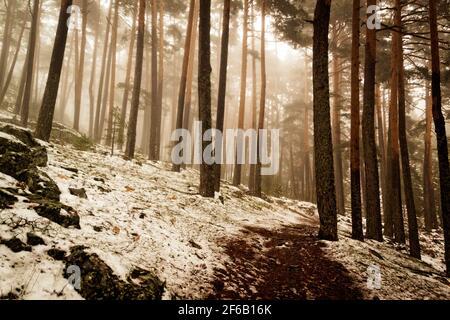 Camino a través de un bosque dorado con niebla y luz cálida. Nieve en el bosque de pinos. Escena misteriosa