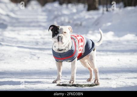 retrato de un lindo perro blanco Pit Bull mirando la cámara sobre un fondo blanco como la nieve con un espacio de copia. Profundidad de campo reducida