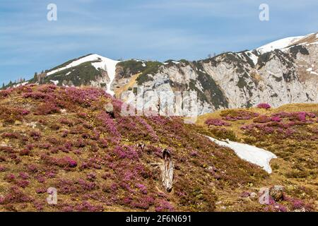 Erica carnea crece en montañas, alpes Julianos