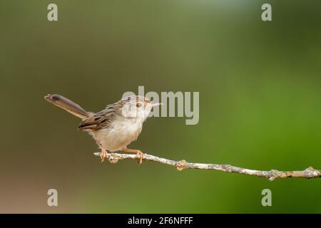 Female House Sparrow (Passer domesticus biblicus) encaramado en una rama, fotografiado en Israel en septiembre