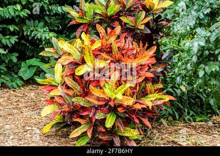 Codiaeum variegatum o planta de Croton Jardín con follaje ornamental.