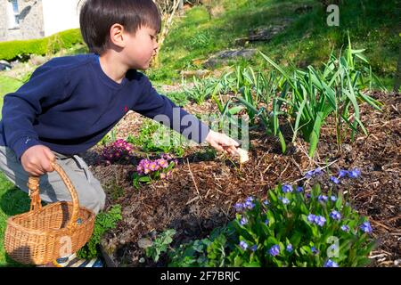 Niño niño de 4 años sosteniendo cesta alcanzando para conejo de chocolate En el jardín de flores en la caza de huevos de Pascua Carmarthenshire Gales Reino Unido Gran Bretaña KATHY DEWITT