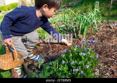 Niño niño de 4 años sosteniendo cesta alcanzando para la Pascua de chocolate Conejo en el jardín de flores en la caza de huevos Carmarthenshire Gales Reino Unido Gran Bretaña KATHY DEWITT