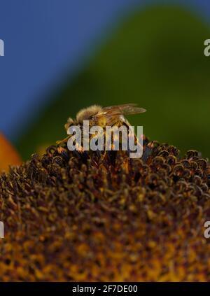Las abejas europeas fotografiadas con la lente macro como un primer plano