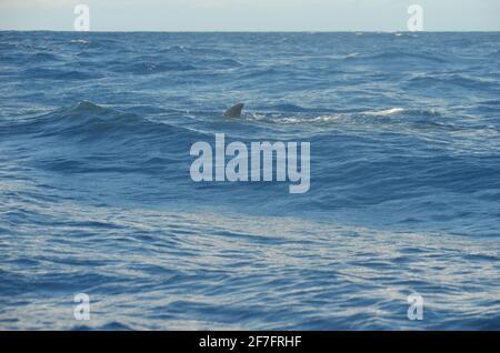 Una ballena sei (Balaenoptera borealis) cerca de Lajes do Pico, Isla Pico, Azores (Portugal)