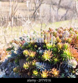 Colorida planta suculenta de sedum al aire libre. Fondo de la naturaleza