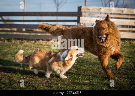 Dos amigos de perros jugando en el jardín, una joven galesa Corgi Pembroke y una adulta vieja alemana Sheepdog (Kuhhund) mujer