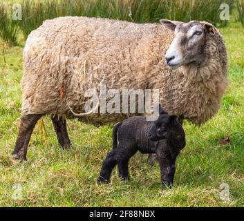 Suffolk Cross Ewe Ovis aries con corderos negros de un día