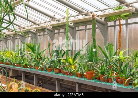Varios cactus en macetas, invernadero de vidrio para protección en el Conservatorio y Jardín Botánico