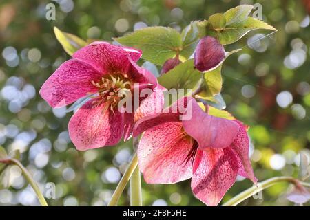 Rosa oscuro lenten flores de color rosa lat. Helleboro orientalis cerca en el jardín de primavera con fondo de bokeh