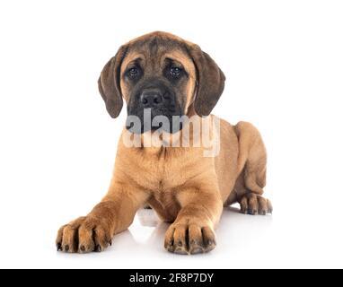 Cachorro mastín italiano delante de un fondo blanco