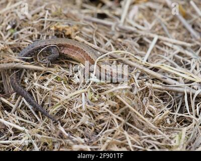 Un lagarto común (Zootoca vivipara) calentándose en el sol de la primavera.