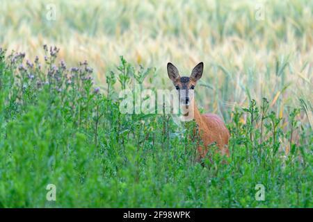 Ciervo de roe (Capreolus capreolus) en un campo, junio, Hesse, Alemania