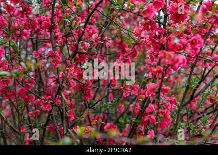 Primavera florece en un arbusto en el jardín con abejas
