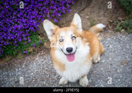 Galesa Corgi Pembroke perro mujer mirando a la cámara, delante de flores púrpura