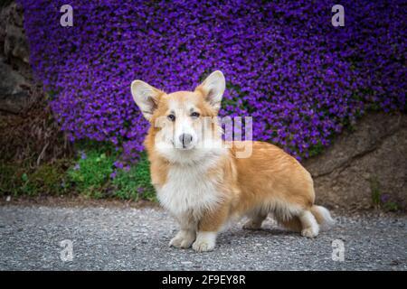Galesa Corgi Pembroke perro mujer de pie delante de púrpura flores