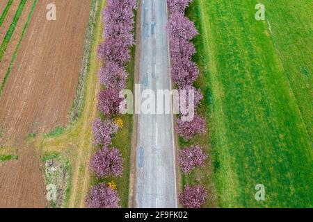 Berkenye, Hungría - Vista aérea sobre los hermosos árboles de ciruela en flor junto a la carretera. Paisaje del amanecer en primavera, flor de cerezo.