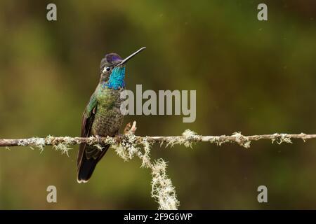 Talamanca (admirable) Hummingbird - Eugenes spectabilis es un gran colibrí que vive en Costa Rica y Panamá. Hermoso color verde y azul, sittin
