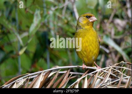 pájaro verdoso sentado en madera en busca de comida