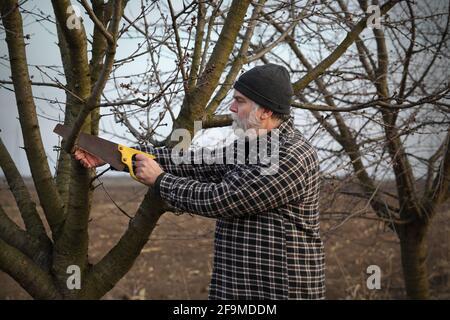 El granjero adulto cortó la rama del árbol usando la sierra de mano, la poda del tiempo de la primavera en el huerto