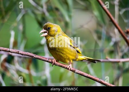 pájaro verdoso sentado en una rama