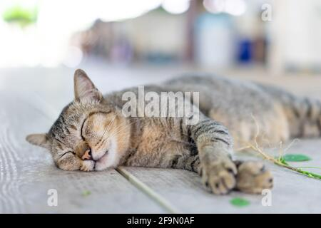 Un gato borracho gracioso gris está durmiendo después de tomar una raíz de coperleaf indio (catnip) en el suelo de madera.