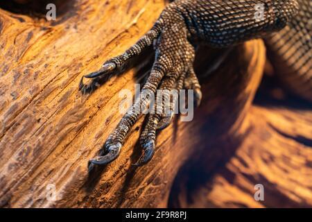 Primer plano de la pata reptil, un miembro de lagarto con garras sobre un fondo de madera, monitor de lagarto o gecko con garras en una rama, la pata de iguana