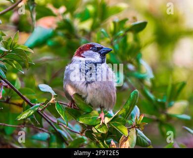 Un hombre gorrión de la casa (Passer domesticus) un pájaro del jardín común sentado en un arbusto verde