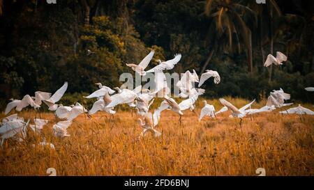 Un rebaño de aves de garza que despegar en una fotografía de paisaje de arrozales. Hermoso paisaje en la isla tropical de Sri Lanka.