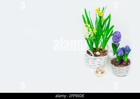 Bandera de Pascua. Hermosos narcisos amarillos con hiacintos azules en cestas y un nido de heno decorativo con huevos de codorniz en su interior. Decoración de mesa de Pascua.