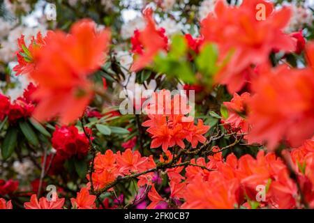 Flores en flor en el jardín de rododendros de Crystal Springs el 26 de abril de 2021 en Portland, Oregon. Establecidos en 1950, los jardines de 9,5 acres son una atracción de primavera entre turistas y lugareños por igual, con una amplia colección de rododendros, azaleas y otras especies de plantas raras. (Foto de Gaspard Le DEM/Sipa USA)