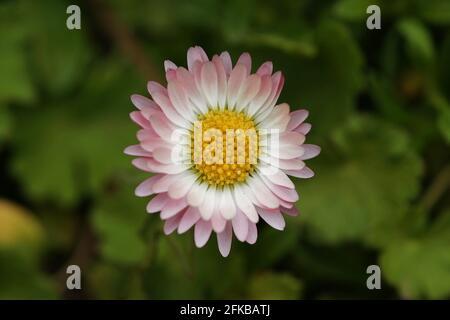 Margarita común, margarita de césped, margarita inglesa (Bellis perennis), cabeza de flor, Austria