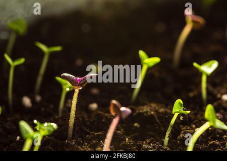 Plantones jóvenes de albahaca que crecen en el suelo en una olla. Nuevo concepto de crecimiento