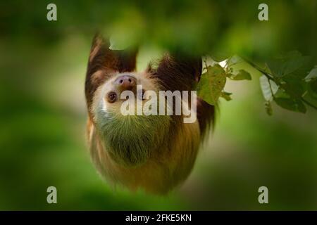 Perezoso en el hábitat natural. El hermoso Sloth de dos dedos de Hoffman, Choloepus hoffmanni, trepando sobre el árbol en la vegetación verde oscuro del bosque. Lindo animal