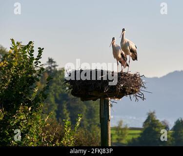 White storch pareja en el sol de la noche