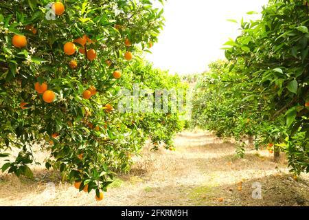 Primer plano de frutas orgánicas maduras de varias naranjas en la rama del árbol en el jardín de la granja de productos locales. Plantación Tangerine Cultivando patio, muchos árboles