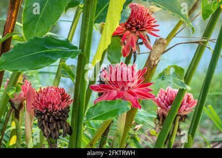 Antorcha roja jengibre (Etlingera elatior) flor, Abba Paradise, Taiton, Bau, Sarawak, Malasia Oriental