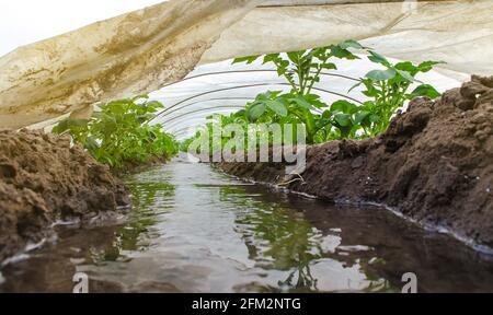 El agua fluye a través de los canales hacia un túnel de invernadero con una plantación de matorrales de papa. La industria agrícola. Cultivo de cultivos a principios de la primavera con cultivo de gree
