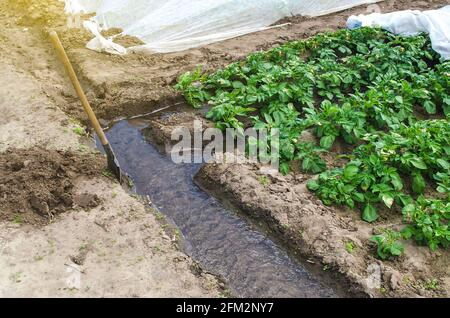 El agua fluye a través de un canal de riego hacia las hileras de una plantación de papa. La industria agrícola. Cultivo de cultivos a finales de primavera utilizando invernaderos. FA
