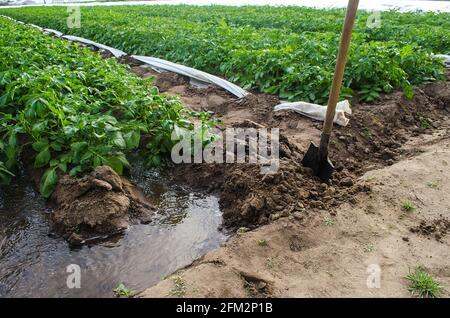 Una corriente de agua a través de un canal arrancado por una pala irriga una plantación de matorrales de patata. La industria agrícola. Cultivando cultivos a principios de primavera
