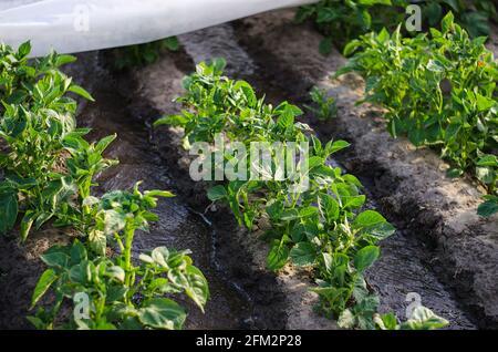 Corrientes de agua entre hileras de arbustos de papa cubiertos de fibra agrícola. Cultivo de cultivos a principios de primavera utilizando invernaderos. Agricultura irrigati