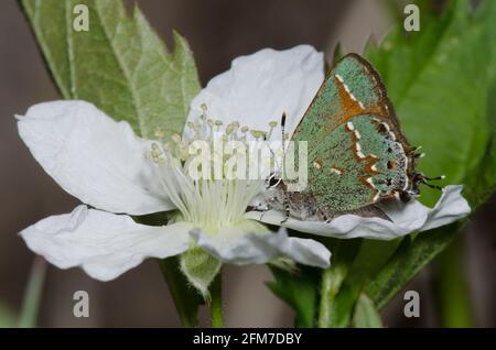 Juniper Hairstreak, Callophrys gryneus, nectaring de BlackBerry, Rubus sp.