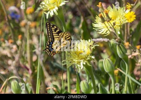 Swallowtail chupar néctar de una flor