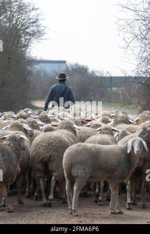 Pastor con rebaño de ovejas y perros pastores